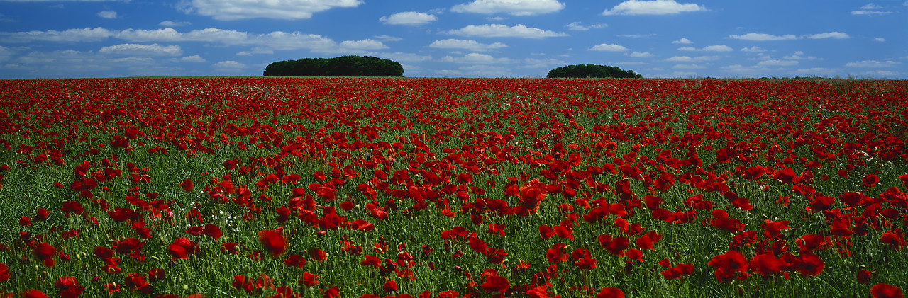 #030194-14 - Field of Poppies, Cotswolds, Gloucestershire, England