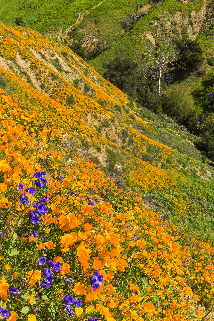 #170118-1 - California Poppies Blooming in Chino Hills State Park, Los Angeles, California, USA