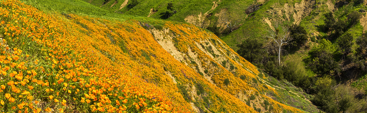 #170119-1 - California Poppies Blooming in Chino Hills State Park, Los Angeles, California, USA