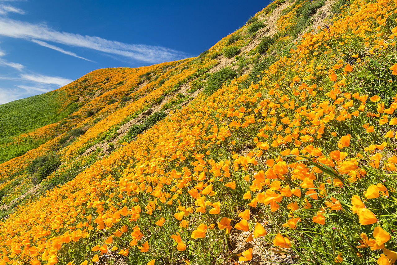 #170120-1 - California Poppies Blooming in Chino Hills State Park, Los Angeles, California, USA