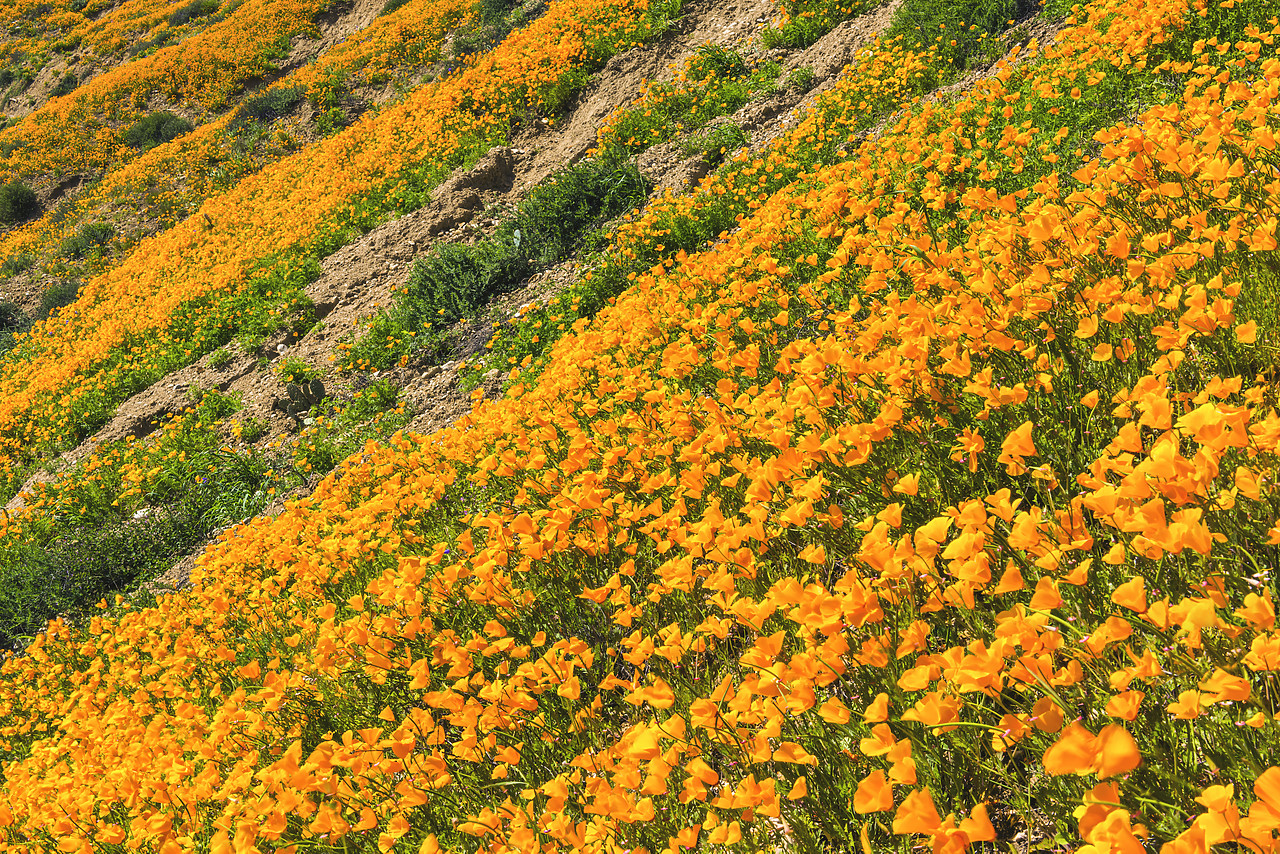 #170121-1 - California Poppies Blooming in Chino Hills State Park, Los Angeles, California, USA