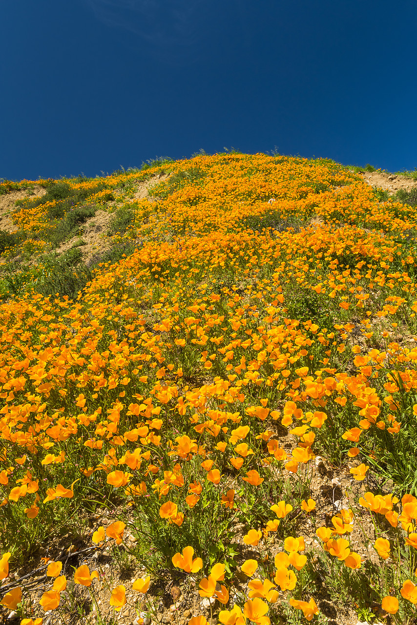 #170122-1 - California Poppies Blooming in Chino Hills State Park, Los Angeles, California, USA