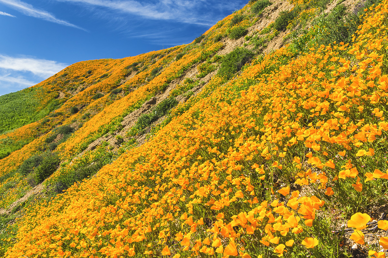 #170123-1 - California Poppies Blooming in Chino Hills State Park, Los Angeles, California, USA