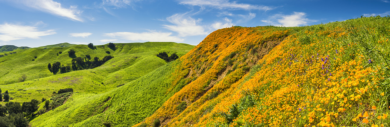 #170124-3 - California Poppies Blooming in Chino Hills State Park, Los Angeles, California, USA