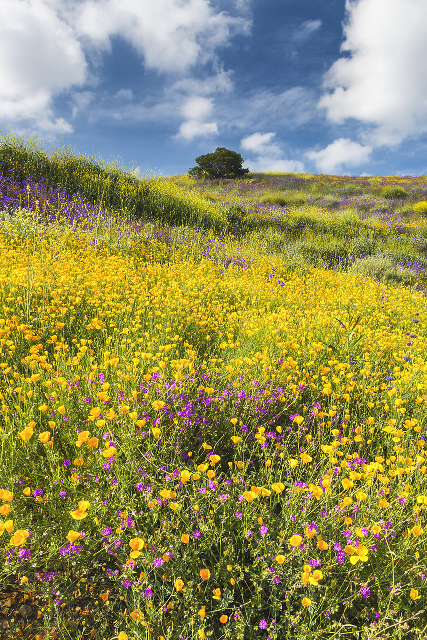 #170125-2 - Blooming Carpets of Wildflowers in Walker Canyon, Lake Elsinore, California, USA