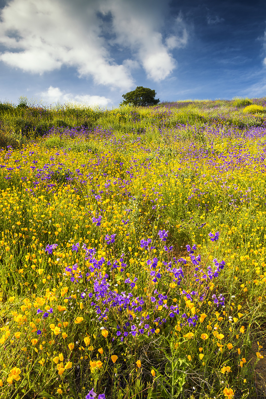 #170126-1 - Blooming Carpets of Wildflowers in Walker Canyon, Lake Elsinore, California, USA