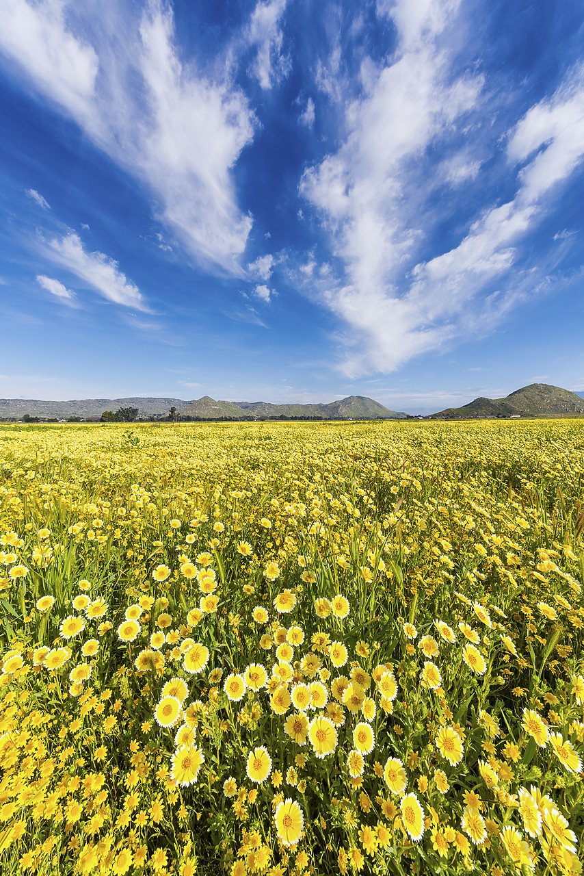 #170127-2 - Field of Tidytips Wildflowers, Hemet, California, USA