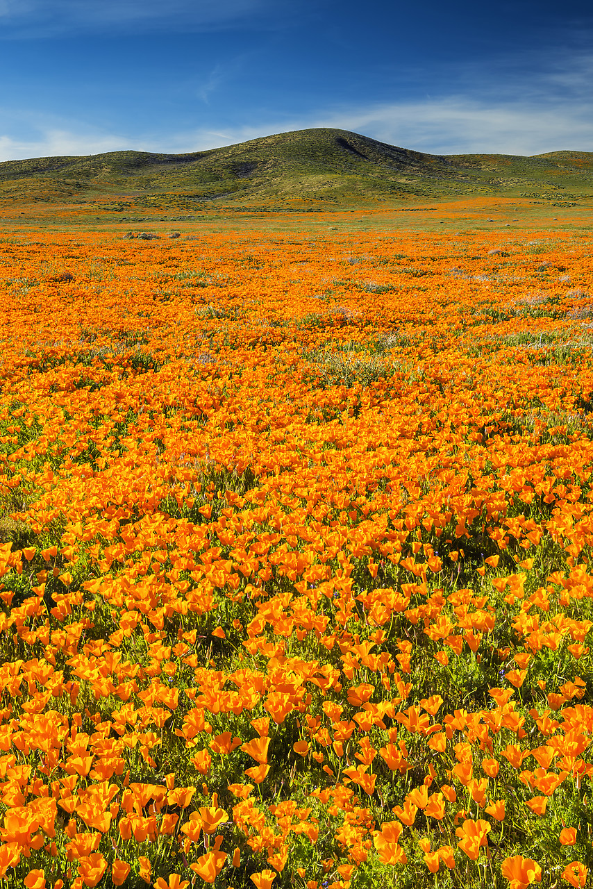 #170129-2 - California Poppies, Antelope Valley, California, USA