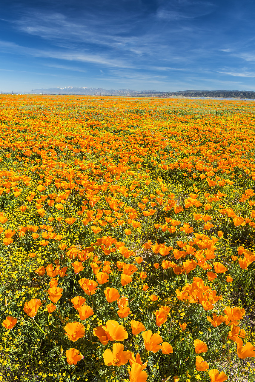 #170132-2 - California Poppies, Antelope Valley, California, USA