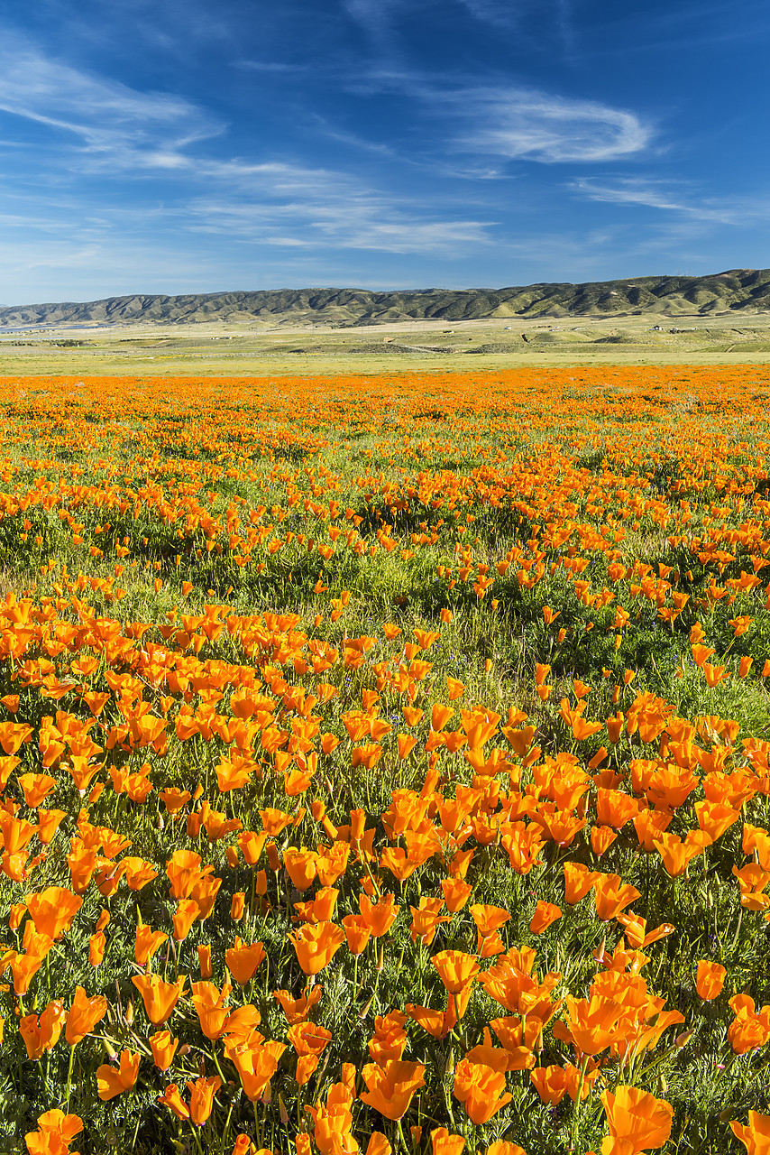 #170133-1 - California Poppies, Antelope Valley, California, USA