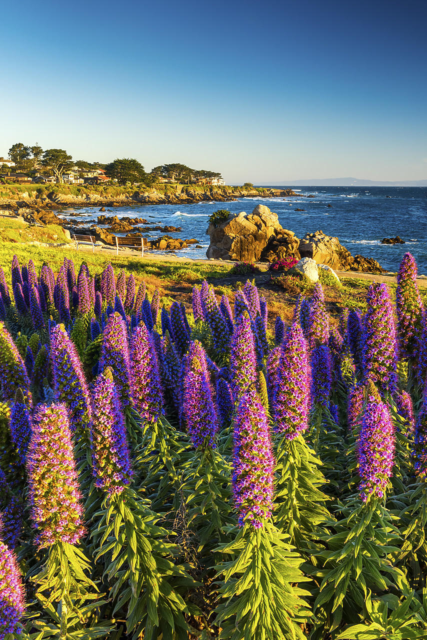#170139-2 - Pride of Madeira Flowers Along Coast, Pacific Grove, California, USA