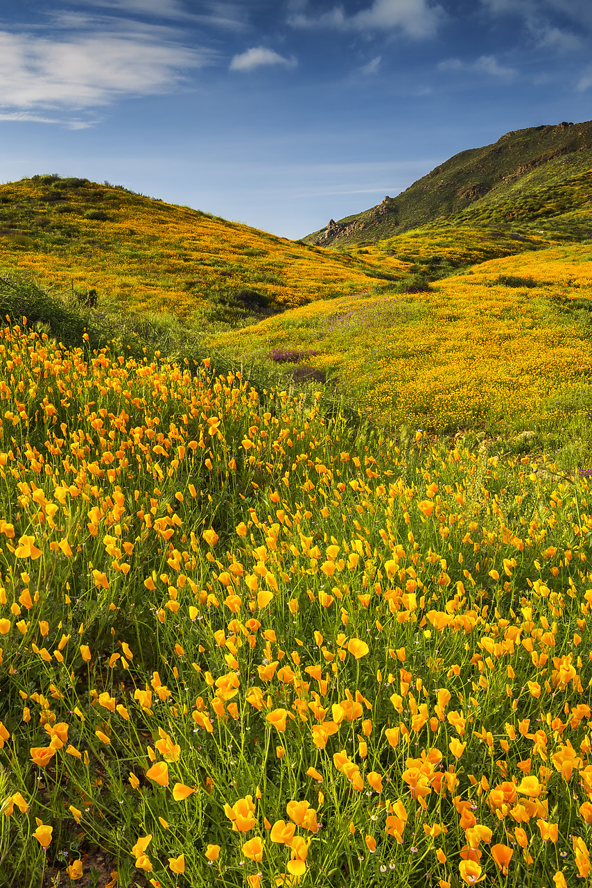 #170167-1 - Blooming Carpets of Wildflowers in Walker Canyon, Lake Elsinore, California, USA