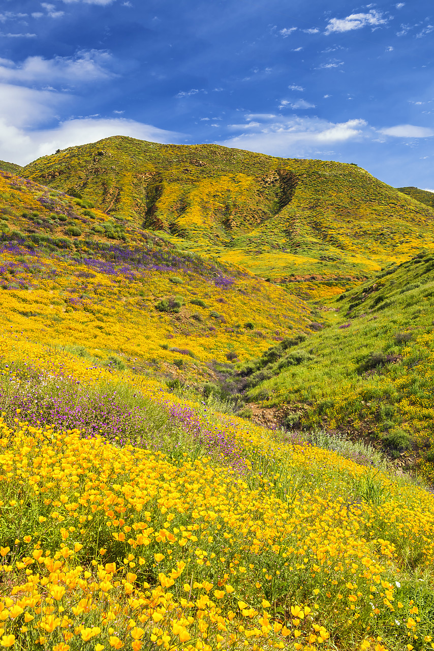 #170169-2 - Blooming Carpets of Wildflowers in Walker Canyon, Lake Elsinore, California, USA