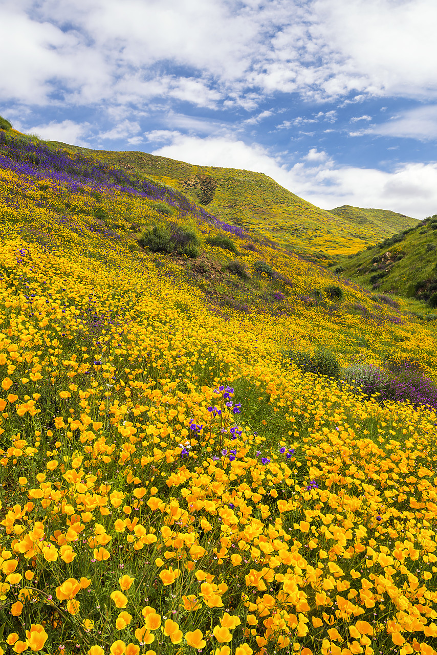 #170171-1 - Blooming Carpets of Wildflowers in Walker Canyon, Lake Elsinore, California, USA