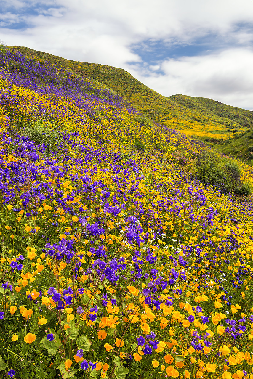 #170172-1 - Blooming Carpets of Wildflowers in Walker Canyon, Lake Elsinore, California, USA