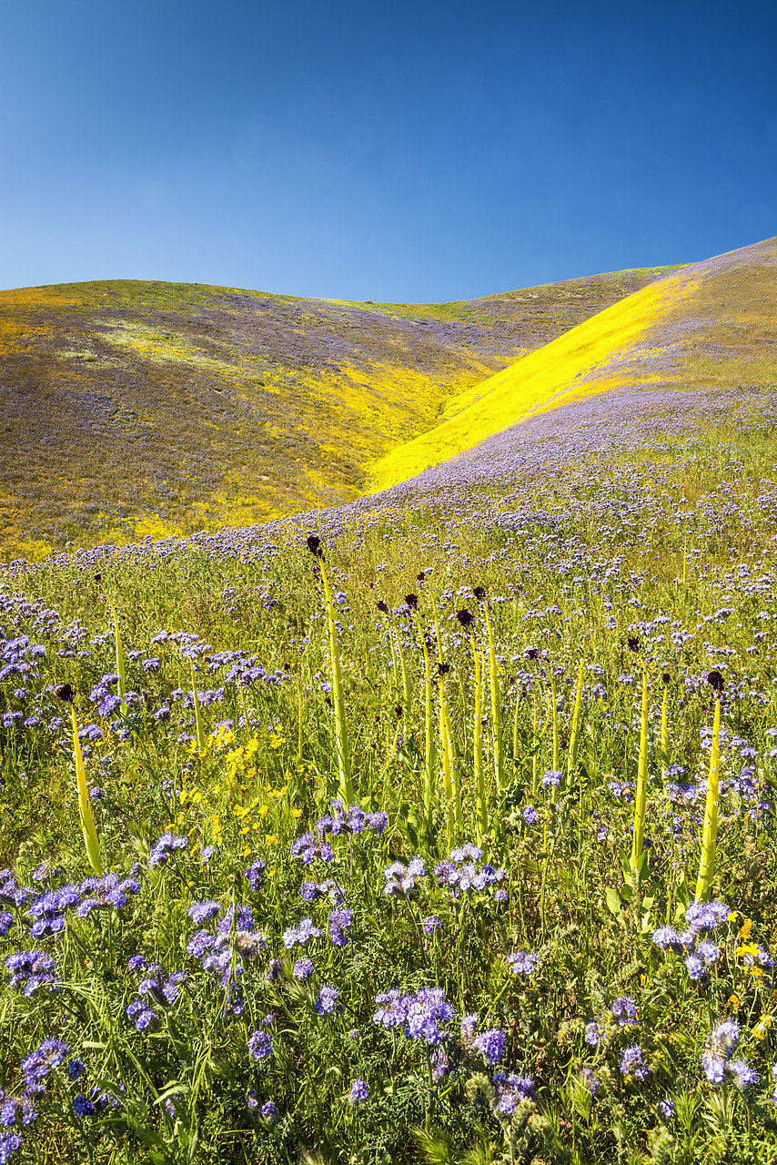 #170253-2 - Super Bloom of Wildflwowers, Carrizo Plain National Monument, California, USA