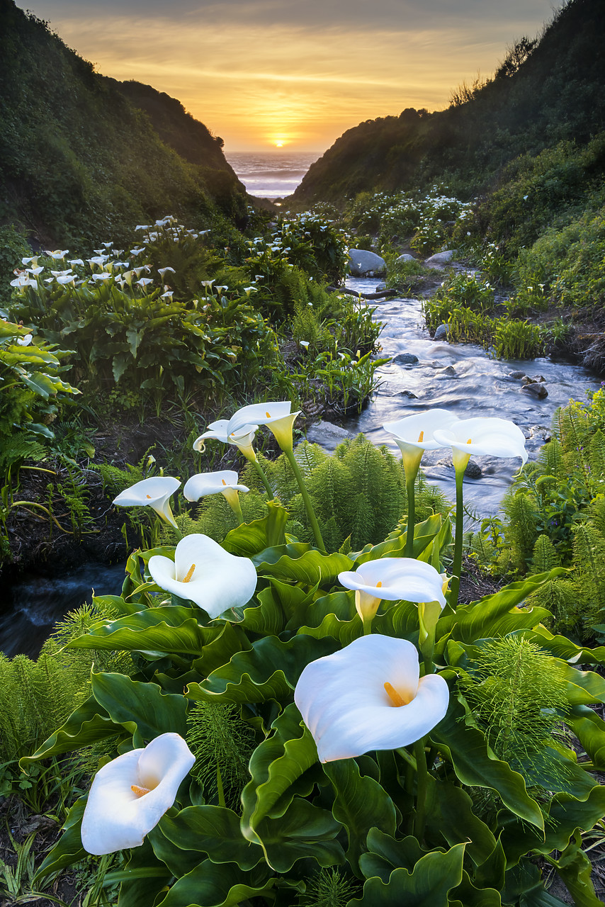 #170271-1 - Calla Lily Valley at Sunset, Garrapata State Park, California, USA