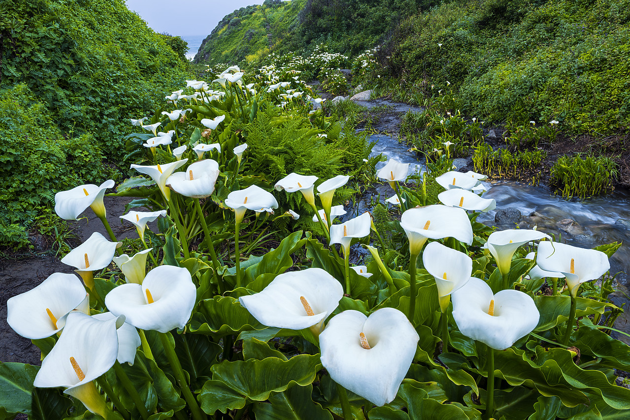 #170272-1 - Calla Lily Valley, Garrapata State Park, California, USA
