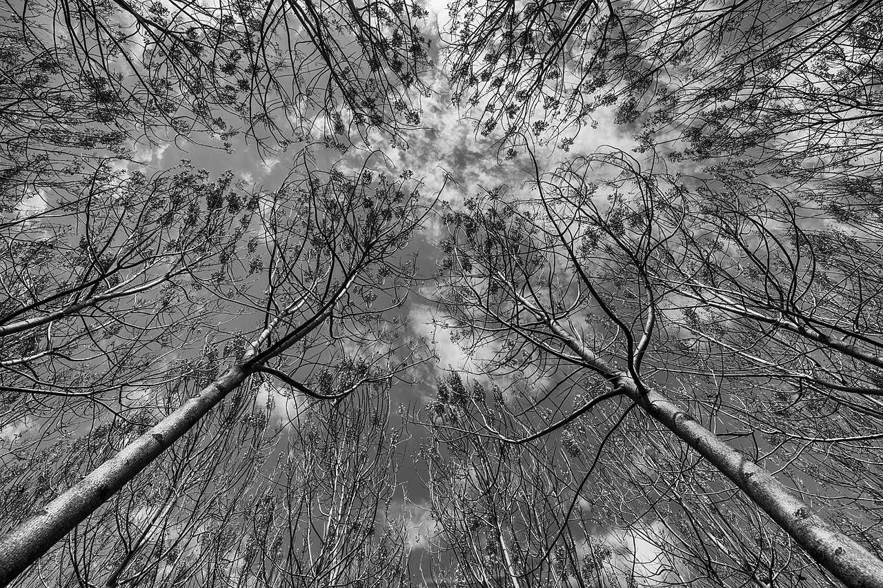 #180149-1 - Pattern of Towering Trees, Mallorca, Balearics, Spain