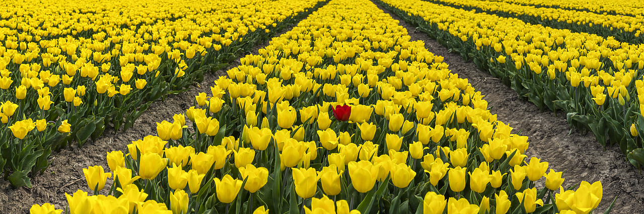 #180363-2 - Single Red Tulip in Field of Yellow Tulips, Abbenes,  Holland, Netherlands