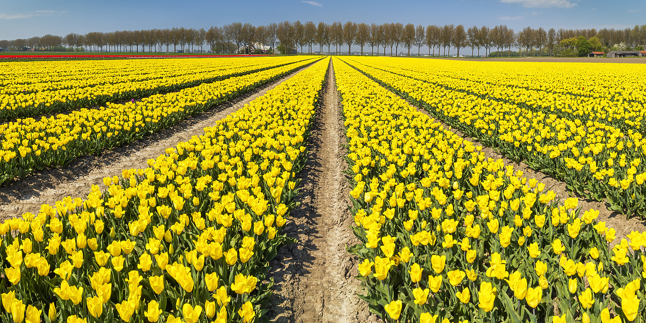 #180365-2 - Field of Yellow Tulips, Abbenes,  Holland, Netherlands
