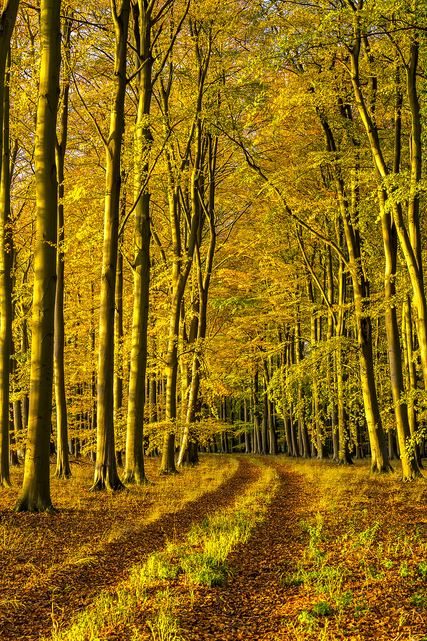 #180503-2 - Beech Wood in Autumn, Thetford Forest, Norfolk, England