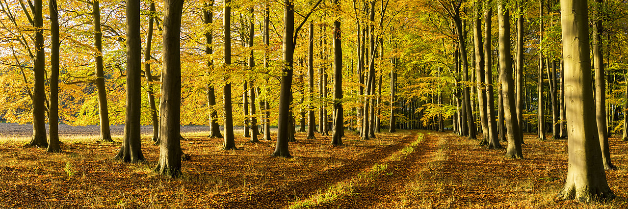 #180504-1 - Beech Wood in Autumn, Thetford Forest, Norfolk, England