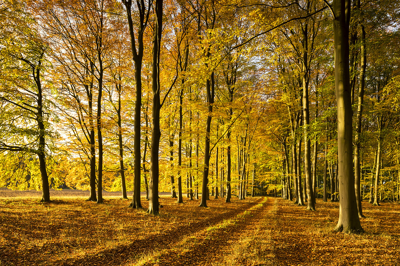 #180505-1 - Beech Wood in Autumn, Thetford Forest, Norfolk, England
