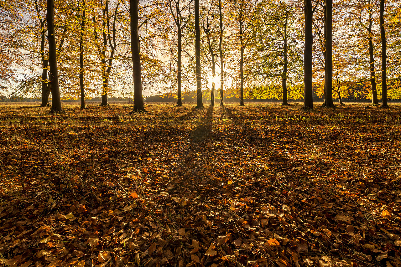 #180506-1 - Beech Wood in Autumn, Thetford Forest, Norfolk, England