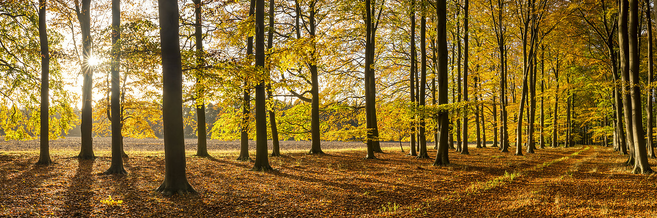 #180508-1 - Beech Wood in Autumn, Thetford Forest, Norfolk, England