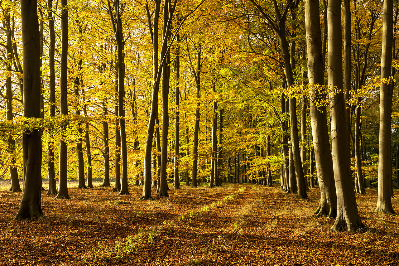 #180509-1 - Beech Wood in Autumn, Thetford Forest, Norfolk, England