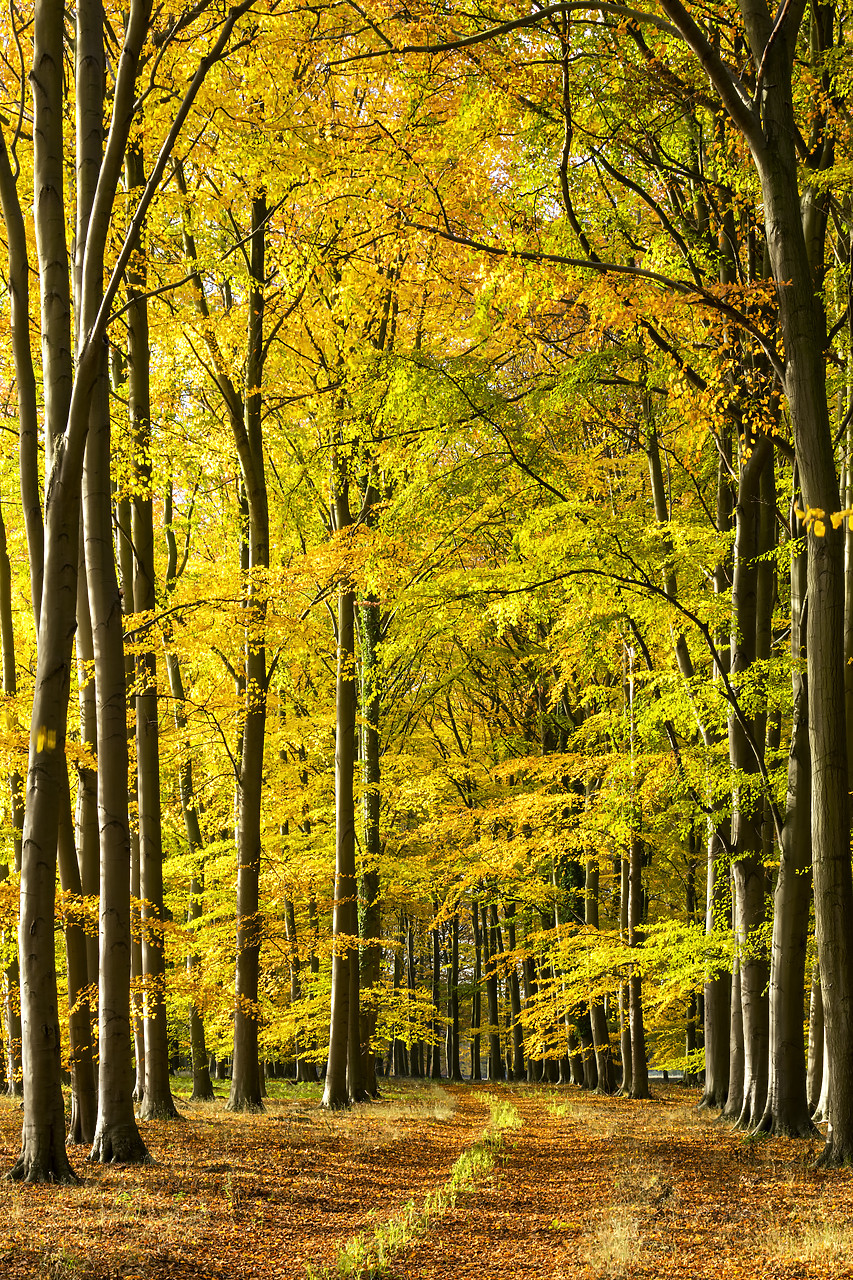 #180509-2 - Beech Wood in Autumn, Thetford Forest, Norfolk, England