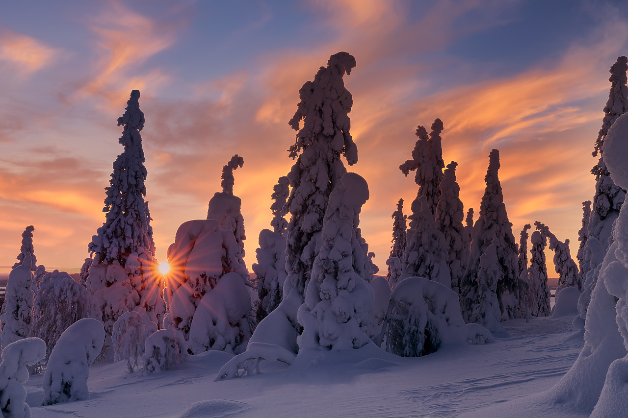 #400039-2 - Snow-covered Pine Trees at Sunrise, Riisitunturi National Park, Posio, Lapland, Finland