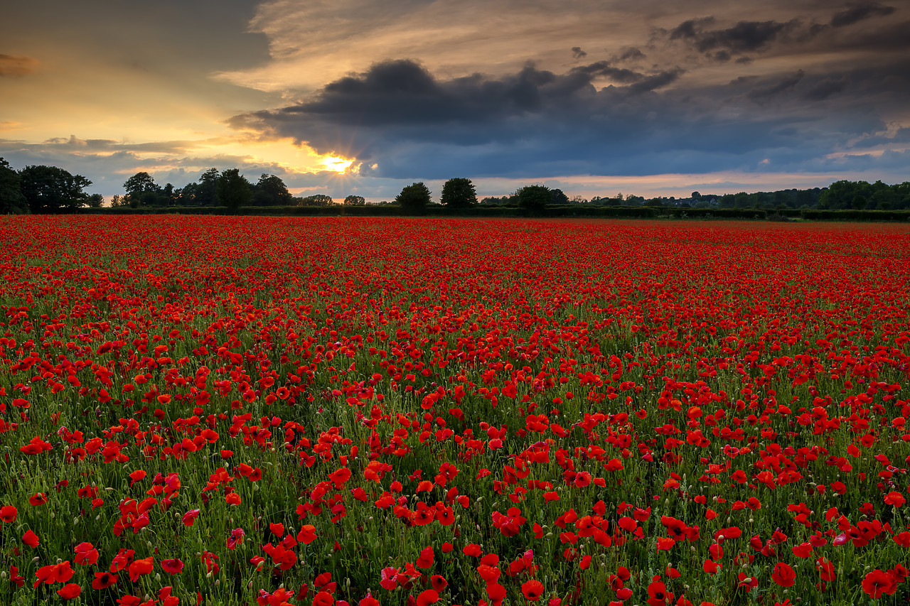 #400133-1 - Field of English Poppies at Sunset, Norwich, Norfolk, England