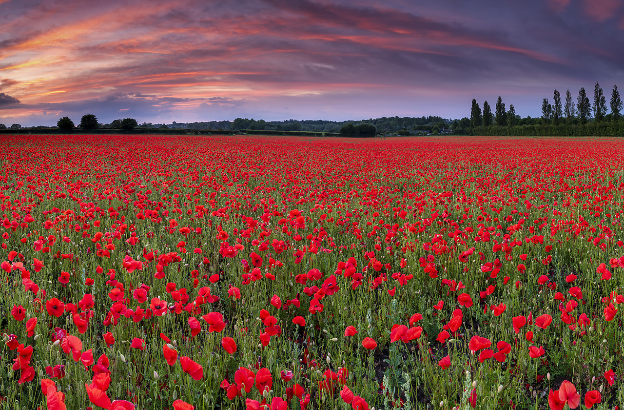 #400135-1 - Field of English Poppies at Sunset, Norwich, Norfolk, England
