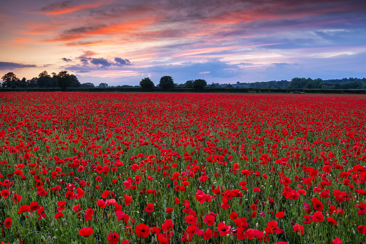 #400136-1 - Field of English Poppies at Sunset, Norwich, Norfolk, England