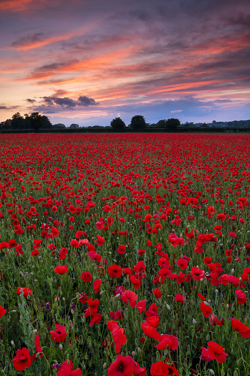#400136-2 - Field of English Poppies at Sunset, Norwich, Norfolk, England